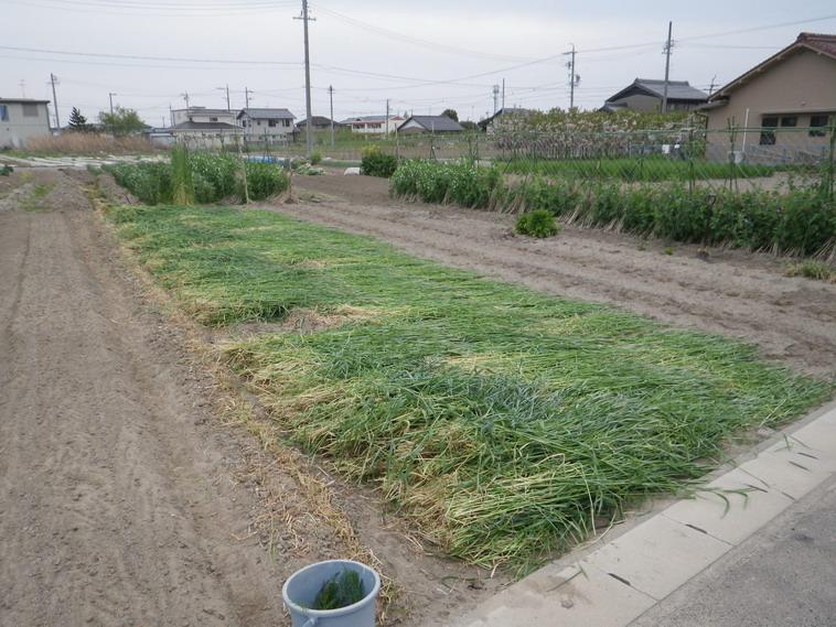 ムギ刈り取り14_04_19