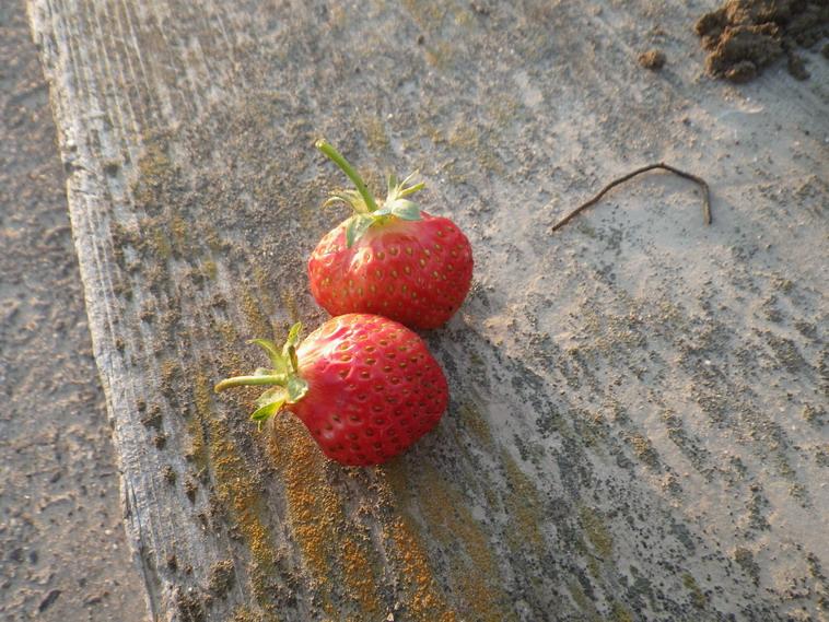 収穫イチゴ14_04_23