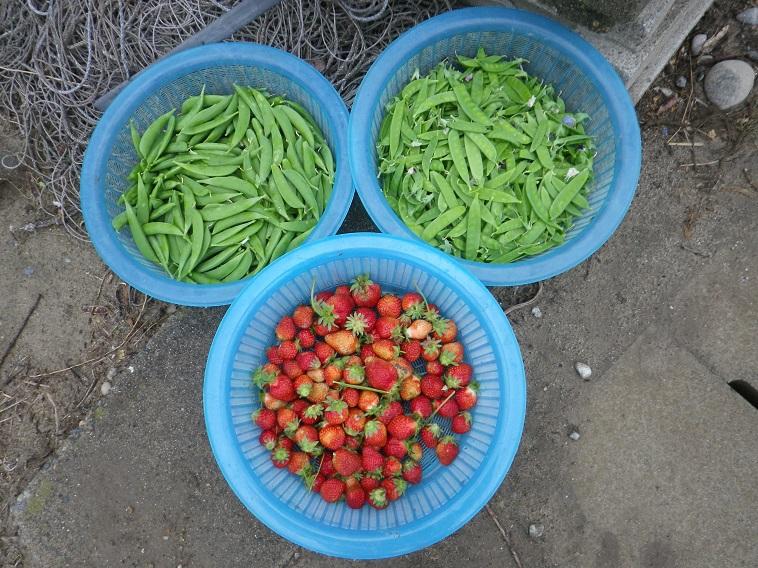 収穫14_05_05