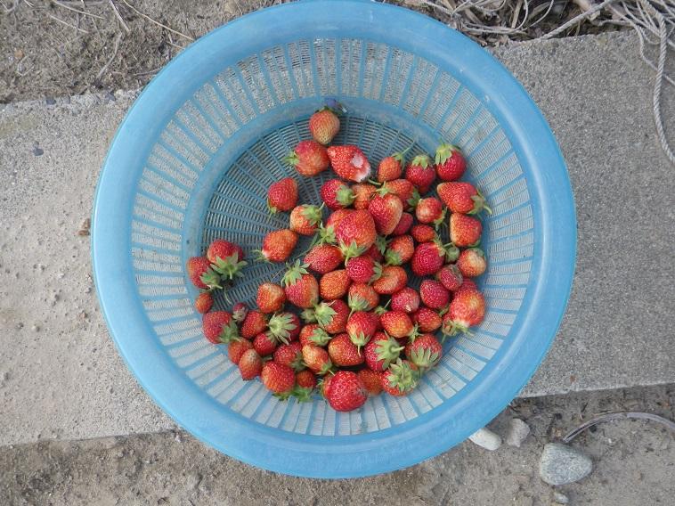 収穫イチゴ14_05_06