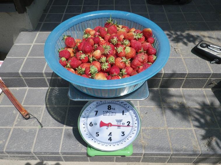 収穫イチゴ14_05_10