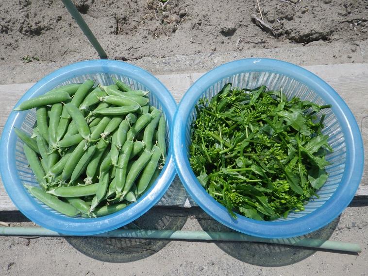 収穫菜花&グリーンピース14_05_10
