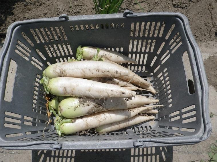 ダイコン収穫14_05_10
