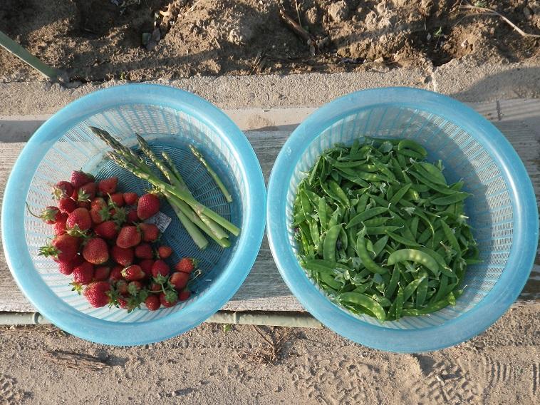 朝の収穫14_05_11