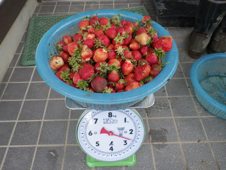 収穫イチゴ14_05_13