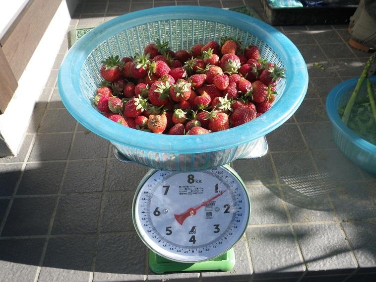 収穫イチゴ14_05_17