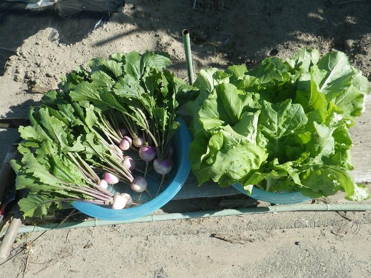 収穫菜っ葉14_05_17