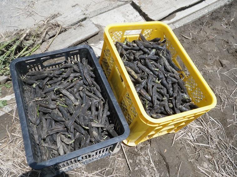 そら豆収穫14_06_08