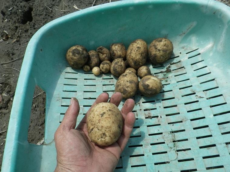 ジャガイモ収穫14_06_08