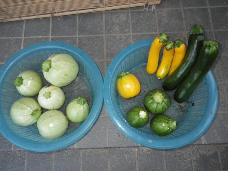 収穫ズッキーニ14_06_09
