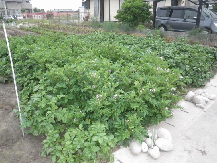 ジャガイモ畑2_14_06_11