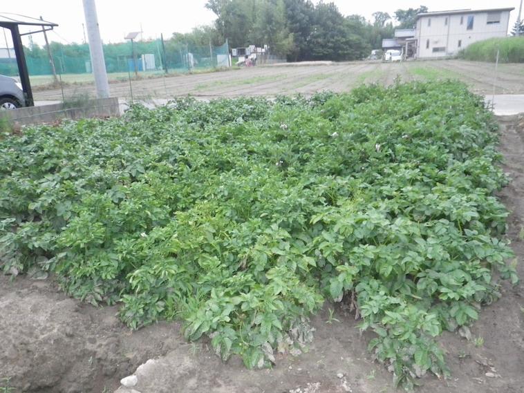 ジャガイモ畑1_14_06_11