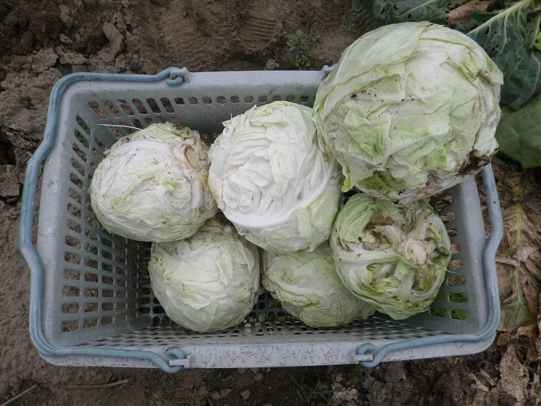 キャベツ収穫14_06_14
