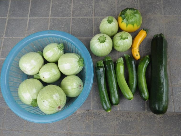 収穫ズッキーニ14_06_18