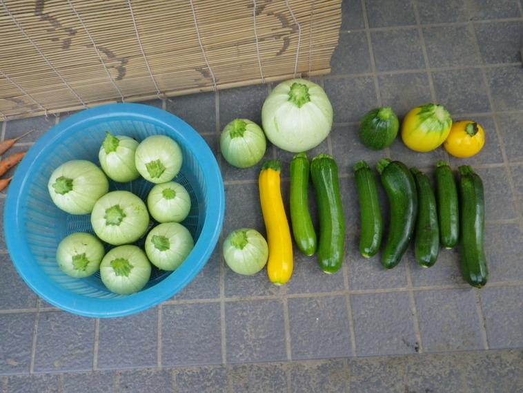 収穫ズッキーニ14_06_20