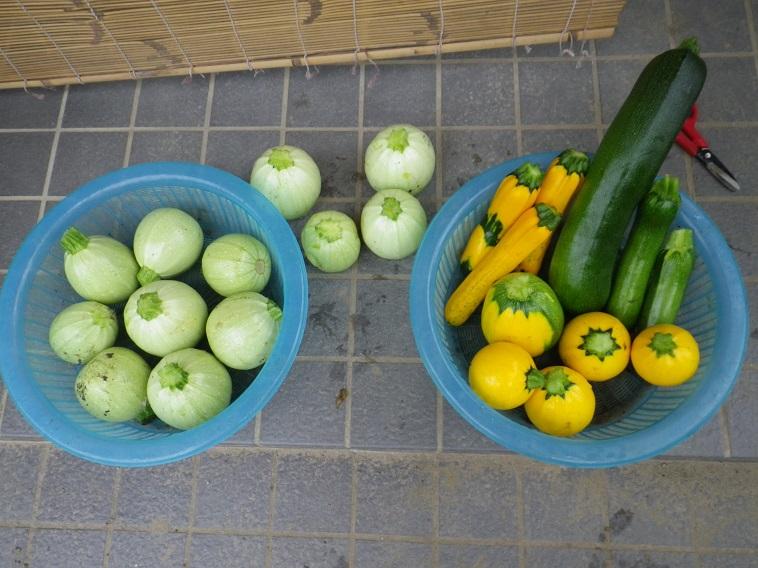 収穫ズッキーニ14_06_22
