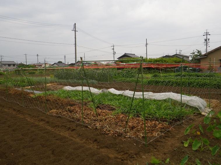 スイカ畑14_06_22