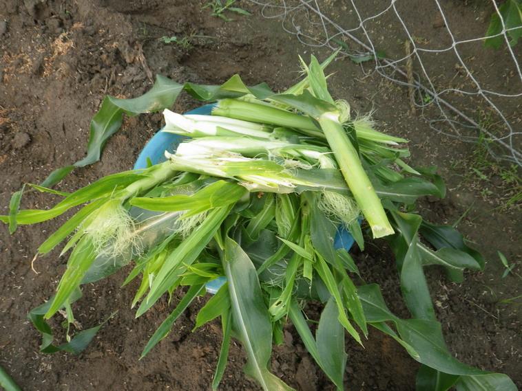 ヤングコーン収穫14_06_23