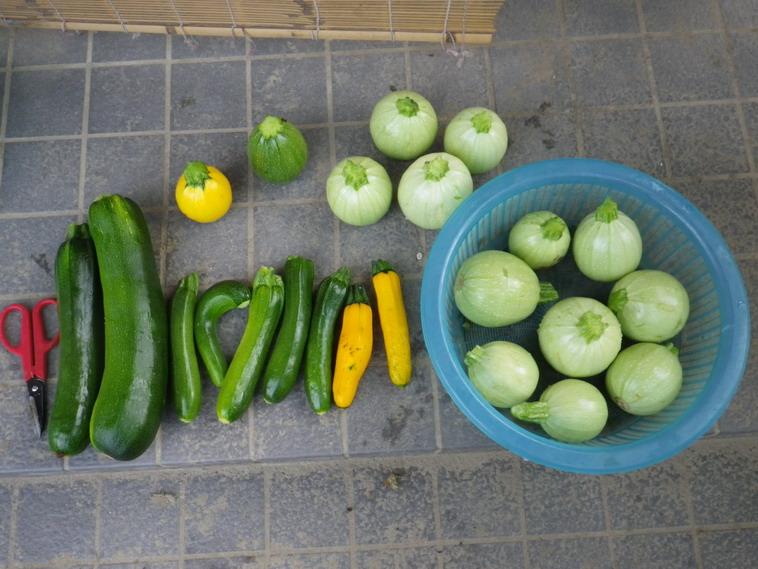 収穫ズッキーニ14_06_23