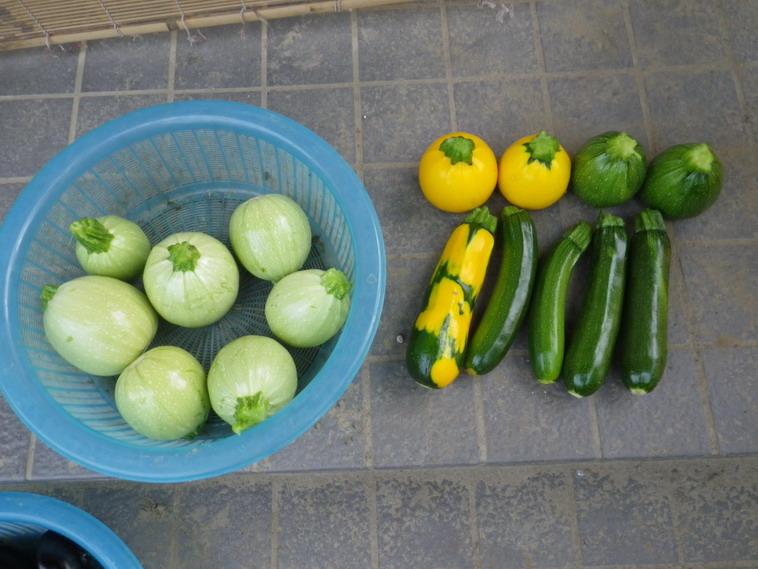 収穫ズッキーニ14_06_25