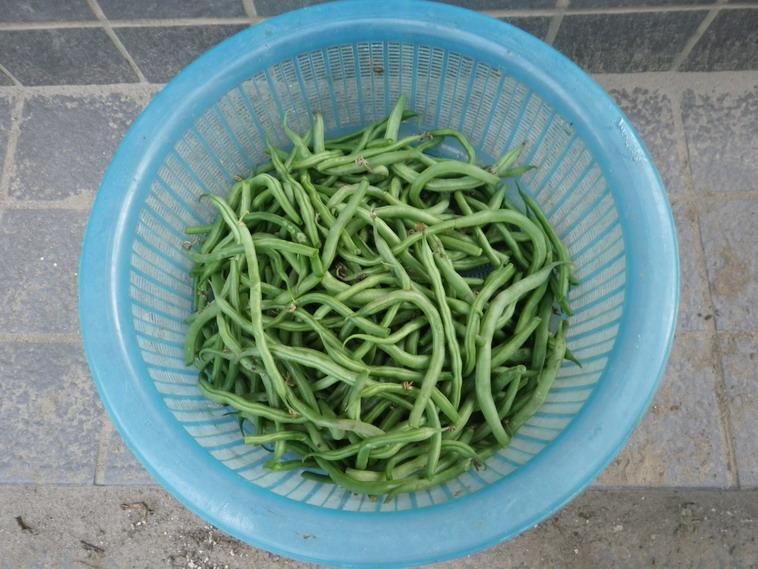 収穫インゲン14_06_25