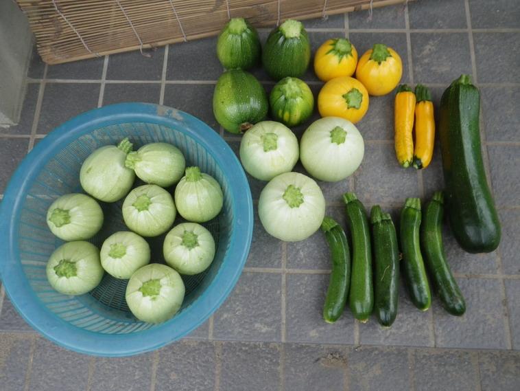 収穫ズッキーニ14_06_26