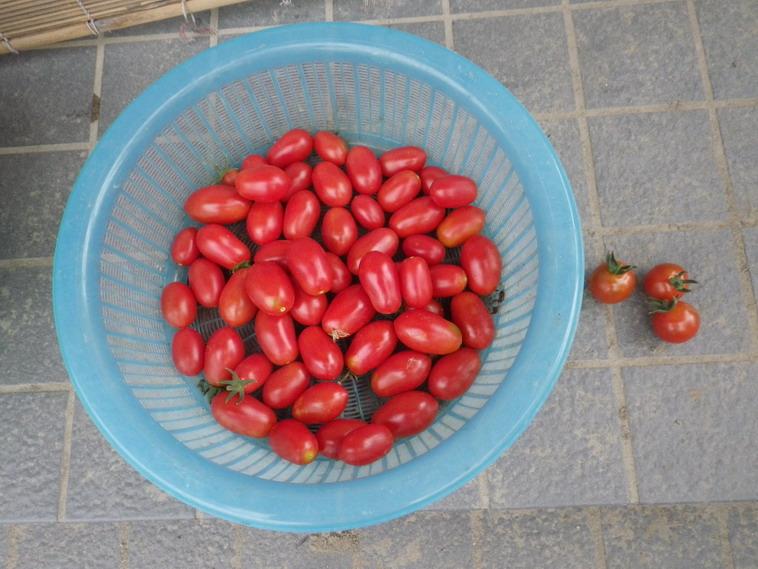 収穫トマト14_06_26