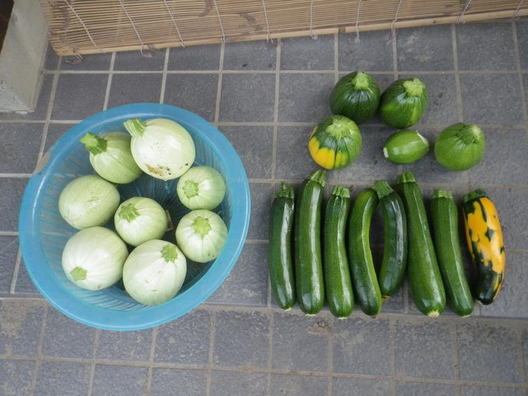 収穫ズッキーニ14_06_27