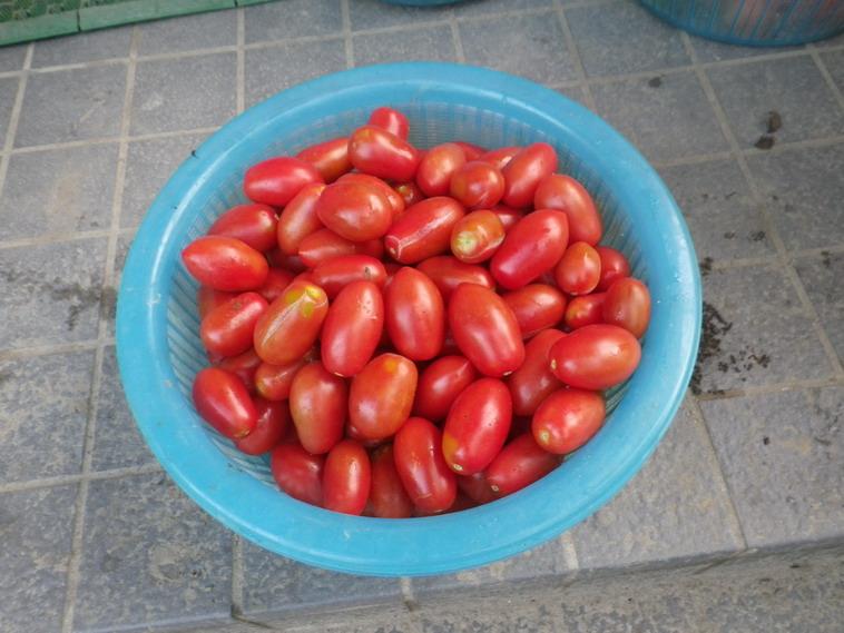 収穫シシリアンルージュ14_07_08