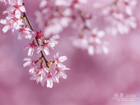 sakura-okameK_48s.jpg