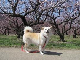 杏のお花見①_5351