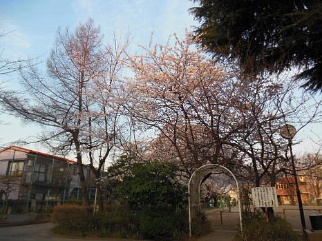 大泉の桜2