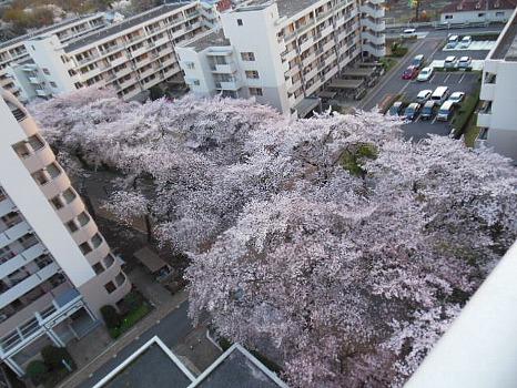 雲の如き桜