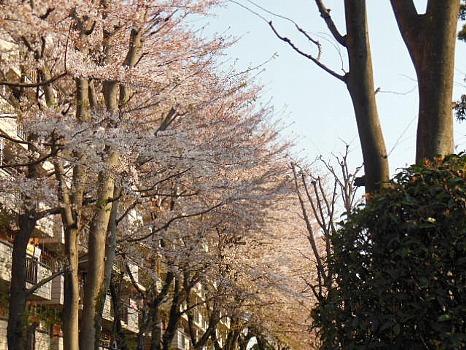 西国分寺の桜