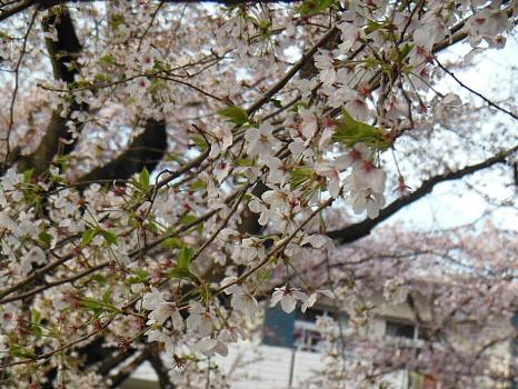 桜アップB