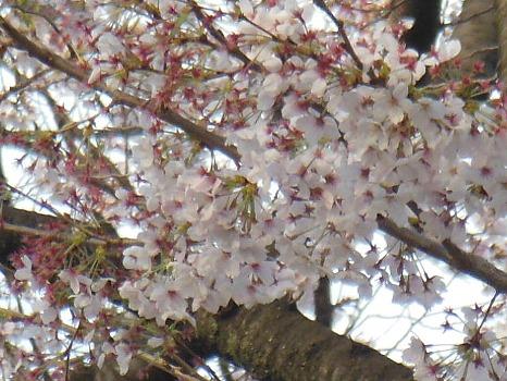 桜アップA