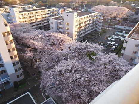 雲の如き桜2