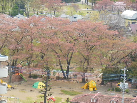 桜も散ってきて