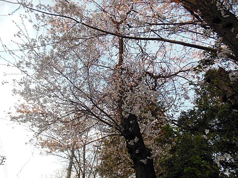 大泉の桜!