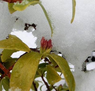 140214-大雪のバレンタイ庭-5