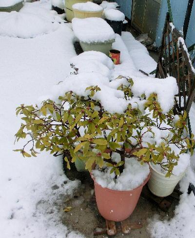 140214-大雪のバレンタイ庭-1