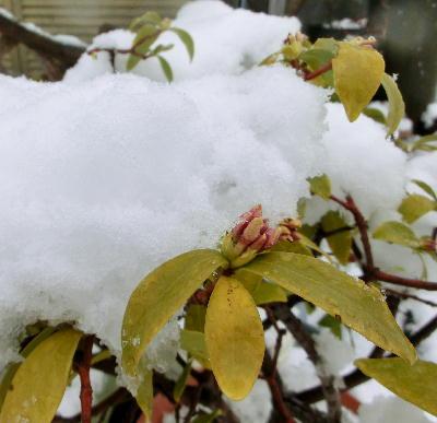 140214-大雪のバレンタイ庭-4