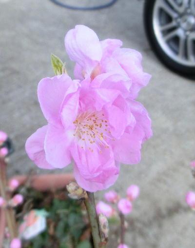 140303-桃の花-2
