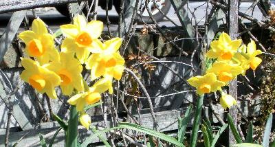 140323-近所の花-1