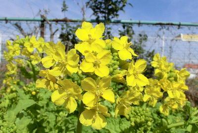 140323-船渡池公園の菜の花-3