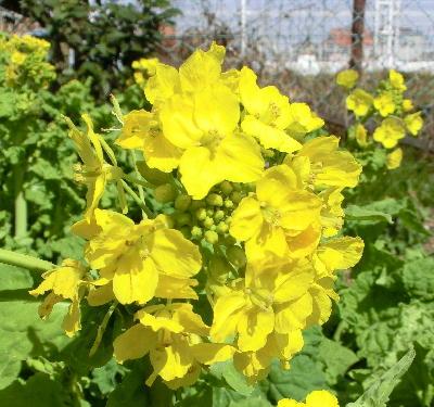 140323-船渡池公園の菜の花-1