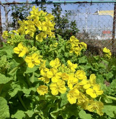 140323-船渡池公園の菜の花-2