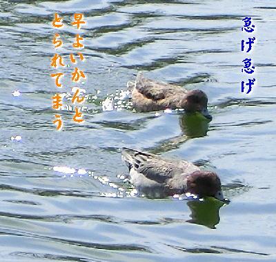 140407-船渡池の鴨-4