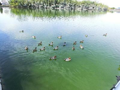 140407-船渡池の鴨-1
