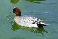 140407-船渡池の鴨-3
